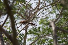 DSC_0038 (anamorales14) Tags: cuckoo squirrel ave bird pájaro colombia birding baru cartagena