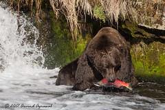 Otis at Brooks Falls - IMG_0179 (arvind agrawal) Tags: grizzlybear brownbear bear katmainationalpark alaska brooksfall brooksriver sockeyesalmon salmon