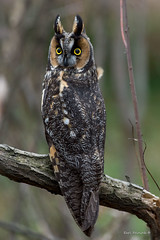 What's your problem? (Earl Reinink) Tags: owl raptor earl reinink earlreinink nature natirephotography niagara longearedowl hhtdouaaha