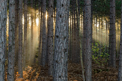East Bearing (Aaron Springer) Tags: michigan northernmichigan woodland forest tree pine sunlight fog mist outdoor nature landscape