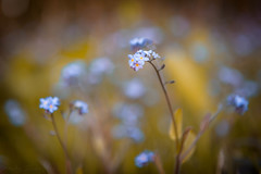 Don't forget about me (Explored) (Sandy Sharples) Tags: forgetmenots wildflower nature woods woodland bokeh spring may flowers flora