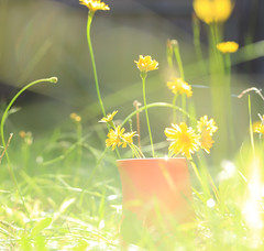 An Autumn's afternoon (alideniese) Tags: smileonsaturday autumn flowers daisies light backlit backlighting grass green bokeh overexposed garden nature weeds dandelionflowers seasonsbeauty