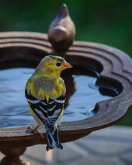 American Goldfinch - 9711 (RG Rutkay) Tags: americangoldfinch male color change summercolours bird nature urban backyard wildlife animal toronto water bath drinking