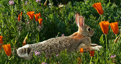 Bunny Spring (Rennett Stowe) Tags: rabbit rabbits bunny bunnies bunnyrabbit rabbitspring spring springtime april aprilflowers easter easterspring easterbunny relax relaxing easy slowandeasy poppies poppy poppyreserve poppyfestival antelopevalley antelopevalleycalifornia antelopevalleypoppyreserve southerncaliforniaspring springincalifornia southerncaliforniawildlife lancastercalifornia lancaterrabbit flowersbunny flowersspring flowersfeels goodcool morning renewal refreshing refreshed ears bigears floppyears rabbitears veins tail rabbittail browneyes pretty cottontailrabbit wildrabbit wildeasterbunny fur soft softfur sosoft wildlife peace peaceful love caution takeabreak breaktime enjoylife magicmoment alert aware naturalbeauty heaven theafterlife therabbithole aliceinwonderland creativecommons wallpaper springwallpaper canoneos5dmarkiii chillin ngc
