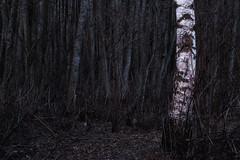Birch (Olli Tasso) Tags: nature conservation luonnonsuojelu luonnonsuojelualue maisema landscape luonto forest birch tree koivu path polku spooky moody kangasala suomi finland laikkolanniemi metsä