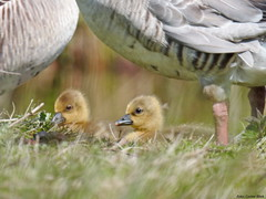 Goslings (Corine Bliek) Tags: anseranser ganzen bird birds nature wildlife newborns vogel vogels spring voorjaar lente