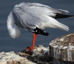 Silver Gull - got to look my best (Free_aza_Bird) Tags: silver gull silvergull frankstonrervoir chroicocephalus novaehollandiae chroicocephalusnovaehollandiae bird seagull tern birder