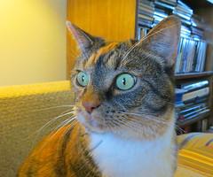 Gracie 8 April 2017 4037Ri 5x6 (edgarandron - Busy!) Tags: cat cats kitty kitties tabby tabbies cute feline gracie patchedtabby