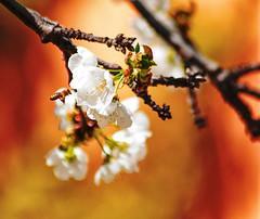 _DSC7579-2 lb (KateSi) Tags: cherryblossoms blossoms flowers fleurs blomster cherrytree spring vår primavera printemps white blanche blanco hvitt bees honeybee honeybees abeja abeille bie abejas biers abeilles nikon nikond90 depthoffield nature naturaleza natur