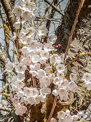 LR  20170422_094907 (Heather*987) Tags: 2017 cherryblossoms highpark topw toronto
