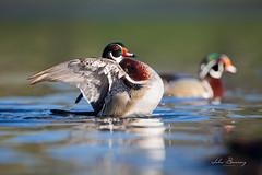 Wood Ducks (johnbacaring) Tags: woodduck wood duck wildlife birding nature