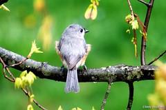 Tufted Titmouse (Anne Ahearne) Tags: bird birds nature wildlife spring springtime animal tree tufted titmouse