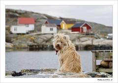 Gripik Langstrumpf (BegMeil44) Tags: vrängo schweden schäreninsel göteborg sweden suède dog hund chien gripik labrit pyrenäenhütehund bergerdespyrénées island île hütten cabanons rochers rocks felsen nordsee northsea merdunord huts