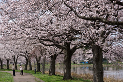 Cherry Blossoms (bamboo_sasa) Tags: 桜 高田公園 高田 上越 新潟 北陸 日本 お花見 高田城 花 春 ソメイヨシノ sakura cherryblossoms cherry blossom japan niigata takada hokuriku joetsu park someiyoshino pink flower spring