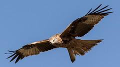 122.2 Rode Wouw-20170406-J1704-51412 (dirkvanmourik) Tags: corvisser ineziatoursgierenfotografiereisapril2017 milanoreal milvusmilvus redkite rodewouw spanje vogelsvaneuropa bird