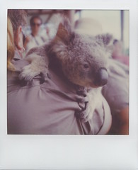 🐨 Koala (Sophort) Tags: polaroidweek polaroidweek2017 roidweek roidweek17 polaroid slr680 australia queensland travel holidays color600 impossible impossibleproject