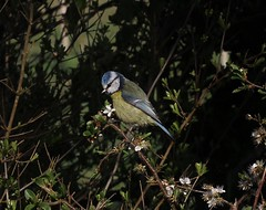 Blue Tit - Cyanistes caeruleus (Yorkie Chris) Tags: cyanistescaeruleus tits birds bluetits britishbirds wildlife nature titmouse blue
