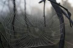 Web and Dew (blachswan) Tags: grampians grampiansnationalpark gariwerd gariwerdnationalpark nationalpark victoria australia dew web fog dawn