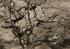The old oak tree (wwwuppertal) Tags: hagen ambrock hagenambrock nordrheinwestfalen northrhinewestphalia nrw morgenspaziergang april sw schwarzweis bw blackandwhite noiretblanc monochrome monochrom getont toned tonung toning sonyalpha6000 sonyilce6000 sigma60mmf28dn art eiche oaktree alt old sterbend dying death