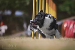 TSUKI (DanMasa) Tags: border collie dog cane perro chien agility sport cinofili slalom