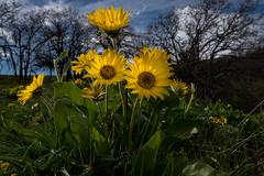 Wildflowers (tyee01) Tags: balsam arrowroot washington columbia river gorge spring yellow flower wild dalles mt ranch nikon d500 1680mm