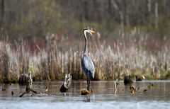Great Blue Heron (sarasonntag) Tags: bog lake long dundee wisconsin kayaking paddling spring 2017 april wading bird outdoor nature great blue heron