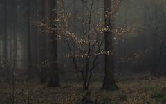 Rough Eifel (Netsrak) Tags: baum bäume eu eifel europa europe forst januar january landschaft natur nebel wald fog forest landscape mist nature tree trees winter woods rheinbach nordrheinwestfalen deutschland de