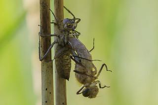 Naissance d'une libellule / 1 / il est 10h21 - sélection