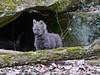 Mähnenwölfchen - Tiergarten Nürnberg - 04.03.217 (ElaNuernberg) Tags: tiergartennürnberg nurembergzoo zoo zooanimals zootiere mähnenwolf chrysocyonbrachyurus