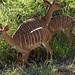 DSC05062 - BONGANI  Nyala-Antilopen