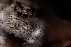 Phidippus regius (oldworldtarantulas) Tags: spider jumping canon eos mpe macro makro micro jumpingspider phidippus regius pray photography photo nah fotografie male female