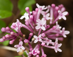 117/365 2017 miniature lilacs (d2roberts) Tags: 365the2017edition 3652017 day117365 27apr17 miniaturelilac rain