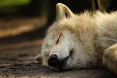 canis lupus arctos (der__marcus) Tags: polarwolf wildlife nature sleeping schlafen dreaming träumen