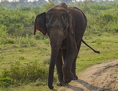 Wild Bull Elephant (ORIONSM) Tags: elephant asian bull male wild nature safari udawalawe srilanka olympus omdem1 lumix100300mm