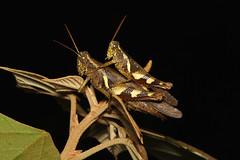 Orthoptera sp. ♀ ♂ (Grasshopper) - Singapore (Nick Dean1) Tags: orthoptera grasshopper katydid animalia arthropoda arthropod hexapoda hexapod insect insecta singapore dairyfarmnaturepark