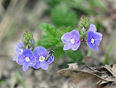 Tiny Bee On Speedwell! (RiverCrouchWalker) Tags: bee speedwell woodland woodlandfloor leaflitter flower insect invertebrate tinybeeonspeedwell cobham kent april 2017 spring