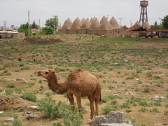 A Dromedary and Beehive Houses, Harran (Richard & Jo) Tags: turkey dromedary camel domes harran haran beehivehouses beehivehouse domehouses rnj2013bangkenturk