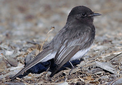 Black Phoebe (maxeythecat911) Tags: wild sky nature birds animals fly wildlife flight critters mammals blackphoebe avian wildanimals tujunga sunland openspaces sunlandpark tujungawash thewash sunlandtujunga thefoothills 91040 birdsofnorthamerica birdsofsoutherncalifornia thefooties avianbirdswildwildlife foothillbivd