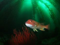 (NirupamNigam) Tags: fish underwater wideangle kelp southerncalifornia channelislands gorgonian anacapa kelpforest greenwater sheephead californiadiving redgorgonian northernchannelislands femalesheephead