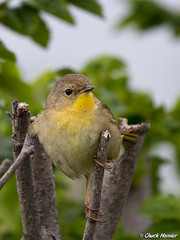 Female-Yellowthroat-Rugosa (texmextele) Tags: county york sea nature pool birds rose colorful wildlife rosa chuck common biddeford yellowthroat rugosa cutre warblers trichas geothylpis homler