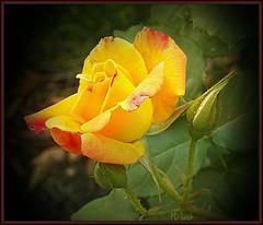 A Smile in the Sun (MissyPenny) Tags: flowers flower rose yellow catchycolors garden josephscoat varigated josephscoatrose bristolpennsylvania kodakz990 pdlaich missypenny
