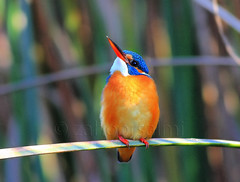 europion kingfisher (zahoor-salmi) Tags: camera pakistan macro nature birds animals canon lens photo tv google flickr natural action wildlife watch bbc punjab wwf salmi walpapers chanals discovry beutty bhalwal zahoorsalmi blinkagain