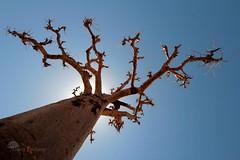 Le baobab (photosenvrac) Tags: photo bleu ciel senegal contrejour baobab afrique exotique thierryduchamp
