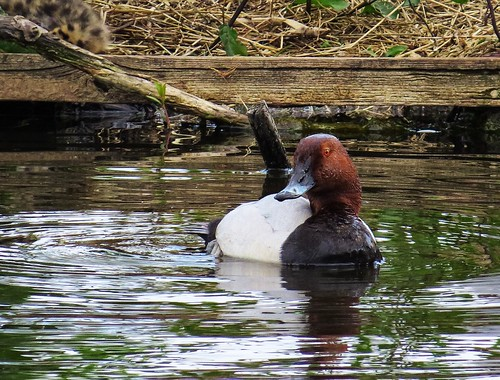 Brunand / Common Pochard