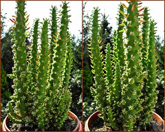 Best Cactus Graft Collection (cactusgraftcreator) Tags: show christmas cactus tree cacti easter some best ever cuttings graft grafts cactusgraftcreator