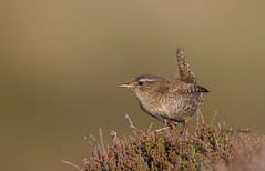 Wren (Dave @ Catchlight Images) Tags:
