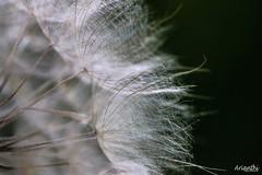 Dandelion (Arianthi-) Tags: macro nature dandelion macromarvels