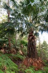 Cabbage Palm with grass skirt (NinianLif) Tags: northernbeaches warriewood cabbagepalm pittwatercouncil irrawongreserve warringahcouncil beapiercephotography