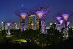 Supertree Grove, Singapore (stevenpng) Tags: moon singapore crescent fisheye bluehour hdr fusions waning gardensbythebay marinabaysands club16 nikond800 capturenx2 photomatixpro4 nikkor16mmf28daffisheye supertreegrove