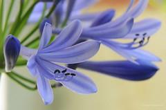 Agapanthus africanus DSC_3792e (antarc foto) Tags: blue azul del de lily amor african flor lirio l catalunya agapanthus tamron vc usd blava africano 70300 matadepera africanus tuberosa agapanthe lamor agapanto hoffmanns lliri ubani agapant isicakathi africà nikond7000 bloulelie tamron70300vcusd